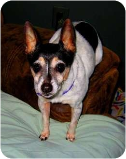 Rat Terrier Mix Dog for adoption in Jacksonville, Florida - tia