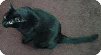 Domestic Shorthair Cat for adoption in Laguna Woods, California - Buddy
