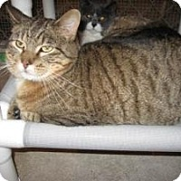 Domestic Shorthair Cat for adoption in Geneseo, Illinois - Portia