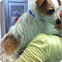 Adopt A Pet :: Shyla - Arlington, TX