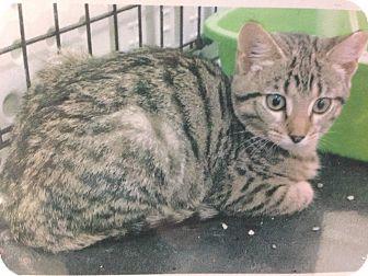 Domestic Shorthair Cat for adoption in Warren, Michigan - Furby