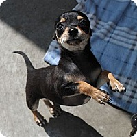Adopt A Pet :: Teeny Tiny Pip - La Habra Heights, CA