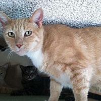 Domestic Shorthair Cat for adoption in Sherman Oaks, California - Irwin