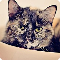 Domestic Shorthair Cat for adoption in Markham, Ontario - Tiki