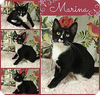 Domestic Shorthair Cat for adoption in Joliet, Illinois - Marina