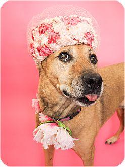 Shepherd (Unknown Type)/Labrador Retriever Mix Dog for adoption in Phoenix, Arizona - Willow