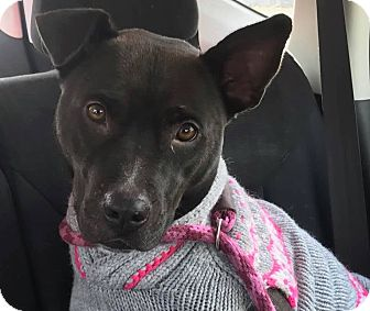 Pit Bull Terrier/Staffordshire Bull Terrier Mix Dog for adoption in Worcester, Massachusetts - Keekee