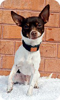 Chihuahua Dog for adoption in Bridgeton, Missouri - Jake-ADOPTION PENDING