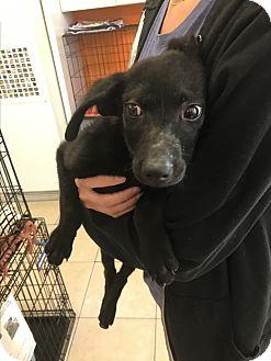 Labrador Retriever Mix Puppy for adoption in Boca Raton, Florida - Shadow