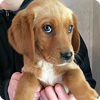 Adopt A Pet :: Piper - SOUTHINGTON, CT