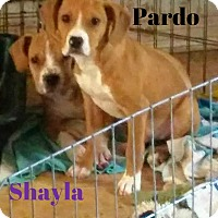 Adopt A Pet :: Pardo - House Springs, MO