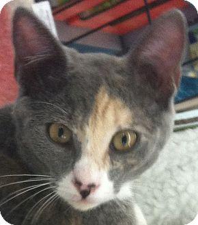 Domestic Shorthair Kitten for adoption in Winchester, California - Lila