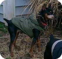Miniature Pinscher Dog for adoption in Nashville, Tennessee - Roscoe 2