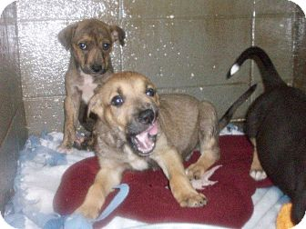 Shepherd (Unknown Type) Mix Puppy for adoption in Henderson, North Carolina - star, Spangle & Banner