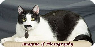 Domestic Shorthair Cat for adoption in Edmond, Oklahoma - Burt