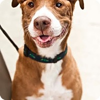 Staffordshire Bull Terrier/Boxer Mix Dog for adoption in Beverly Hills, California - MINERVA