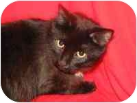 Maine Coon Cat for adoption in Germantown, Maryland - MOOKIE