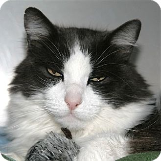 Domestic Longhair Cat for adoption in Port Angeles, Washington - Willie