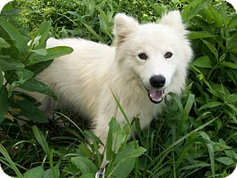 Samoyed/Alaskan Malamute Mix Dog for adoption in Augusta County, Virginia - Ben or Jerry