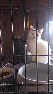 Turkish Van Cat for adoption in Ringgold, Georgia - Angelino