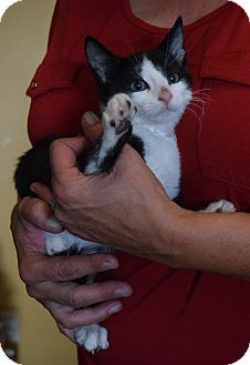 Domestic Shorthair Kitten for adoption in Surrey, British Columbia - Donald