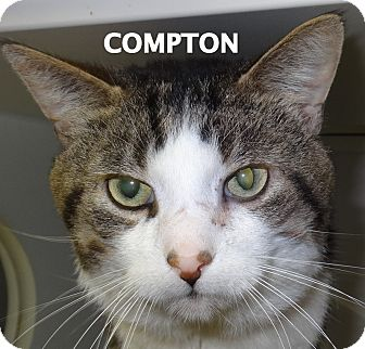 Domestic Shorthair Cat for adoption in Lapeer, Michigan - Compton