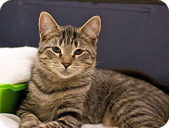Domestic Shorthair Cat for adoption in Troy, Michigan - Cheerio