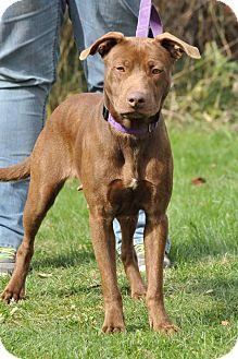 Labrador Retriever/Pit Bull Terrier Mix Dog for adoption in Lisbon, Ohio - Helen