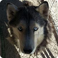 Adopt A Pet :: Sheba - Las Vegas, NV