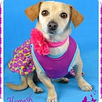 Adopt A Pet :: Mamash - Phoenix, AZ