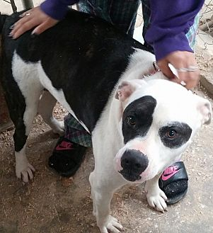 Shepherd (Unknown Type)/Pit Bull Terrier Mix Dog for adoption in Union City, Tennessee - Precious
