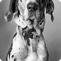 Catahoula Leopard Dog/Great Dane Mix Dog for adoption in Norman, Oklahoma - Maybelle