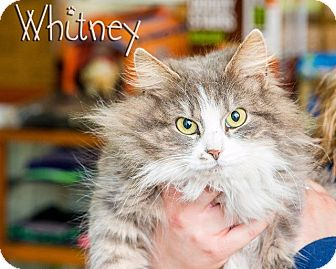 Domestic Longhair Cat for adoption in Somerset, Pennsylvania - Whitney