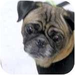 Pug Dog for adoption in Windermere, Florida - Shadow