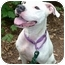 Photo 2 - American Pit Bull Terrier Mix Dog for adoption in Carmel, New York - Maria