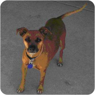 Manchester Terrier Mix Dog for adoption in Scottsdale, Arizona - Missy
