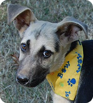 German Shepherd Dog Puppy for adoption in Hot Springs, Arkansas - Dillon
