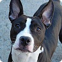 Adopt A Pet :: Pepper - Nashua, NH