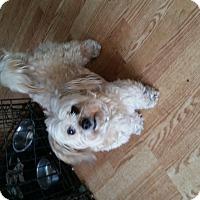 Adopt A Pet :: Ginger - Detroit, MI