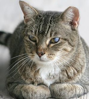 Domestic Shorthair Cat for adoption in North Fort Myers, Florida - Linda Sue