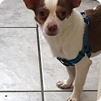 Adopt A Pet :: Tanner - Brooksville, FL