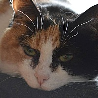Domestic Shorthair Cat for adoption in Toronto, Ontario - Melon