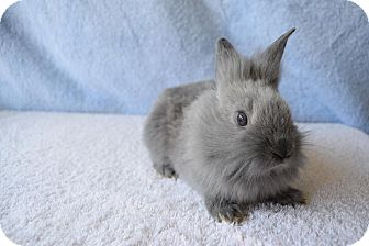 Lionhead Mix for adoption in Fountain Valley, California - Bluebell