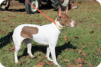 Beagle/Jack Russell Terrier Mix Dog for adoption in Dawson, Georgia - Baby Girl