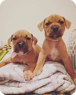 American Pit Bull Terrier Mix Puppy for adoption in Reisterstown, Maryland - Josie