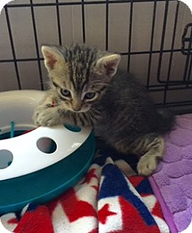 Domestic Shorthair Kitten for adoption in Brea, California - SYLVESTER