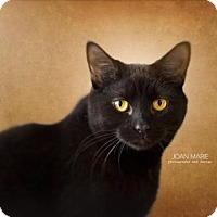 Domestic Shorthair Cat for adoption in Bridgewater, New Jersey - Luci