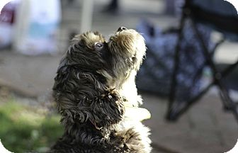 Cocker Spaniel Dog for adoption in Alpharetta, Georgia - Asbury