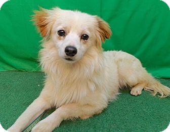 Spaniel (Unknown Type) Mix Dog for adoption in San Diego, California - Jasper