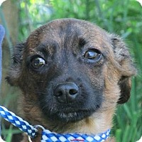 Dachshund Mix Puppy for adoption in Germantown, Maryland - Gino